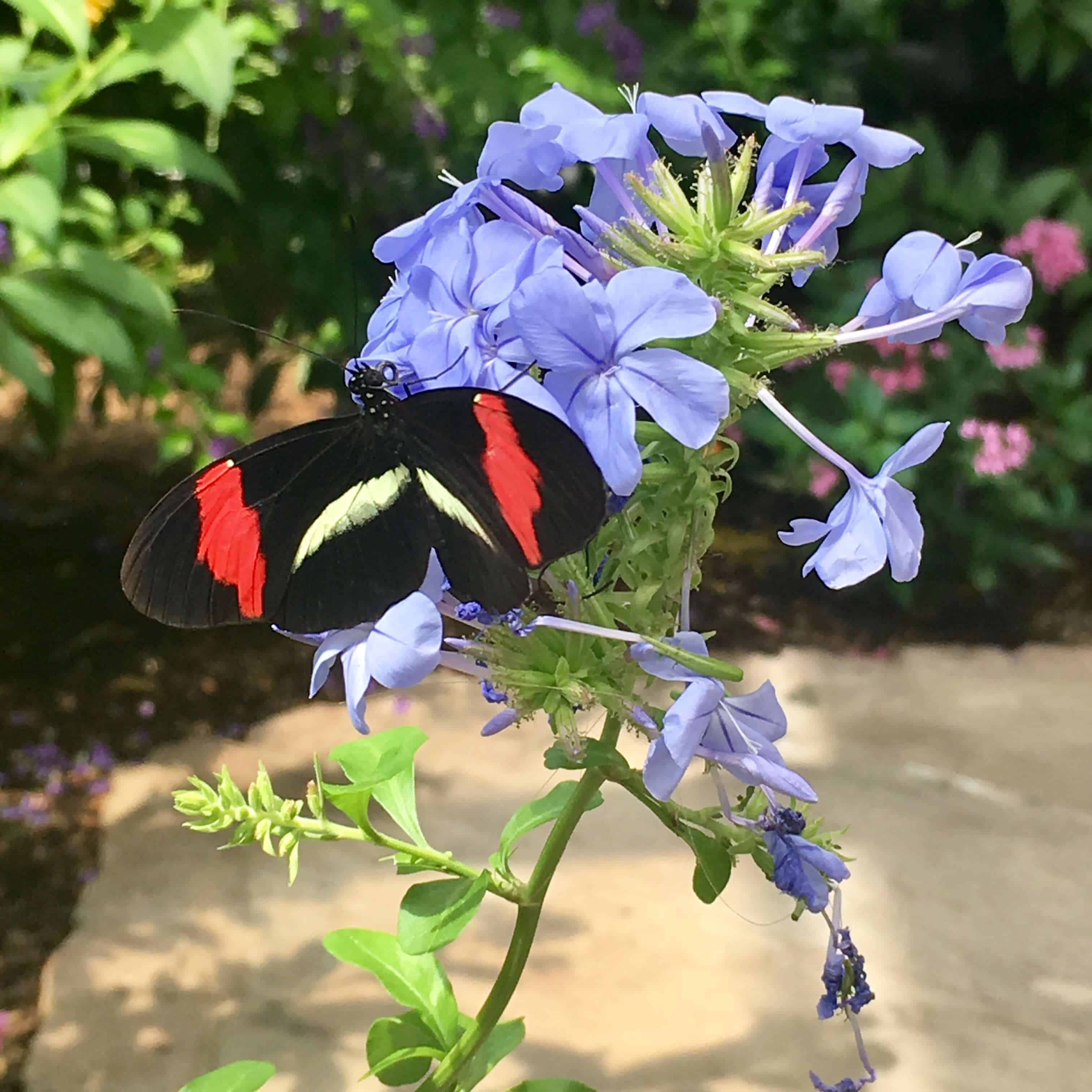 Beautiful butterflies everywhere at the Wings of Fancy Butterfly Exhibit at Brookside Gardens
