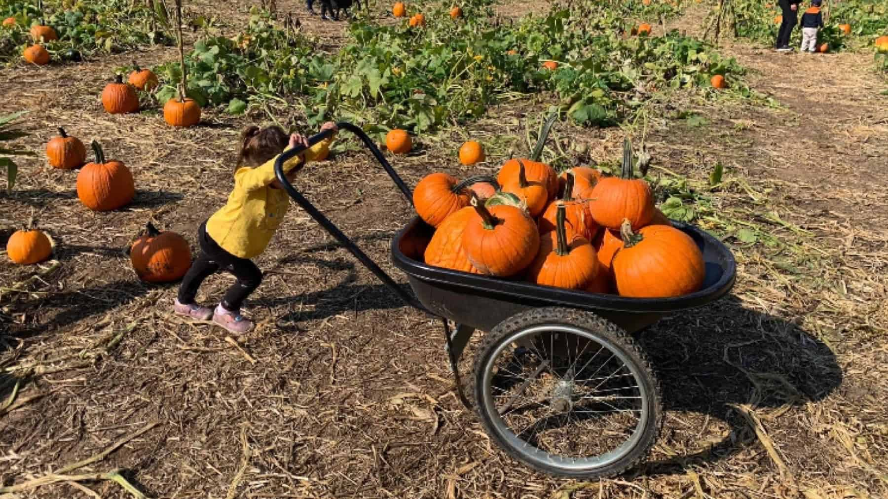 Pumpkin patch, child pushing wheelbarrow full of pumpkins